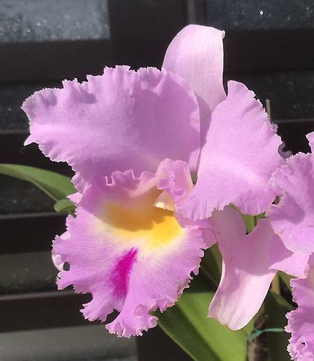 カトレヤの花